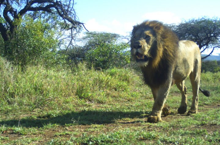 Protecting Lions Helps the Whole Food Chain? Actually, We Don't Know